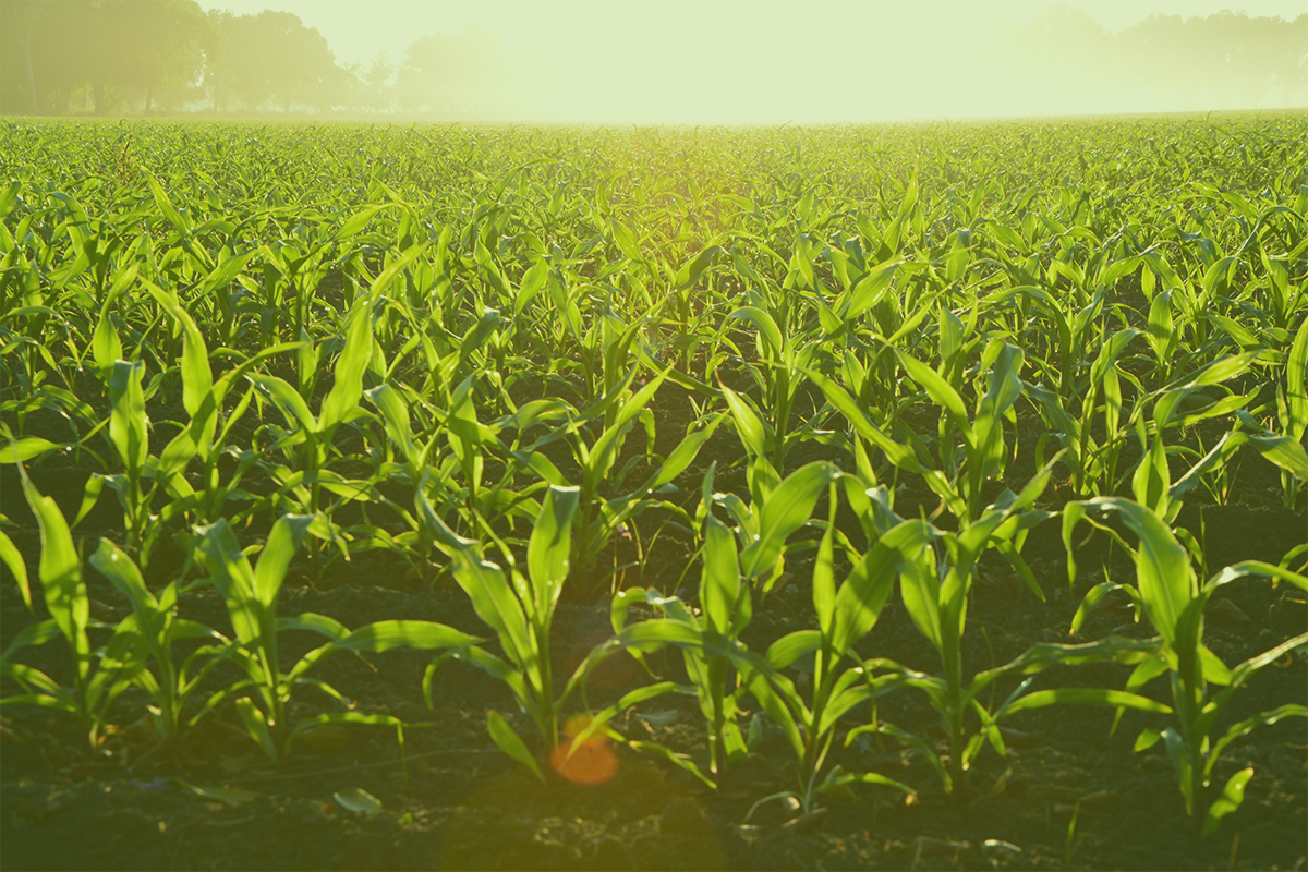 Closeup of corn in field