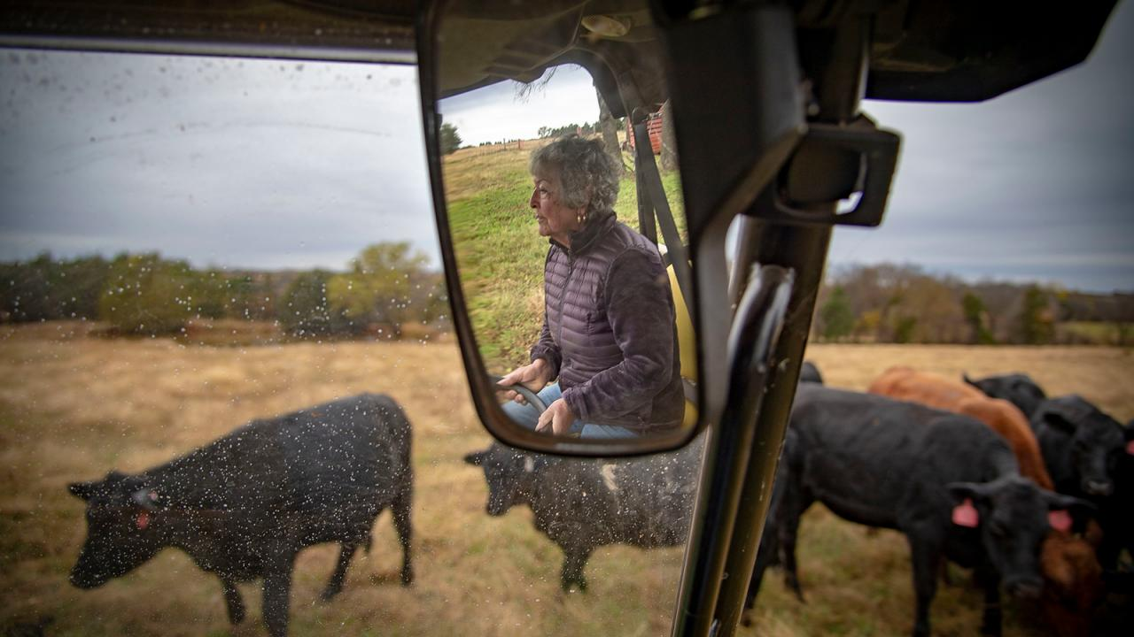 Woman driving through cattle pasture.