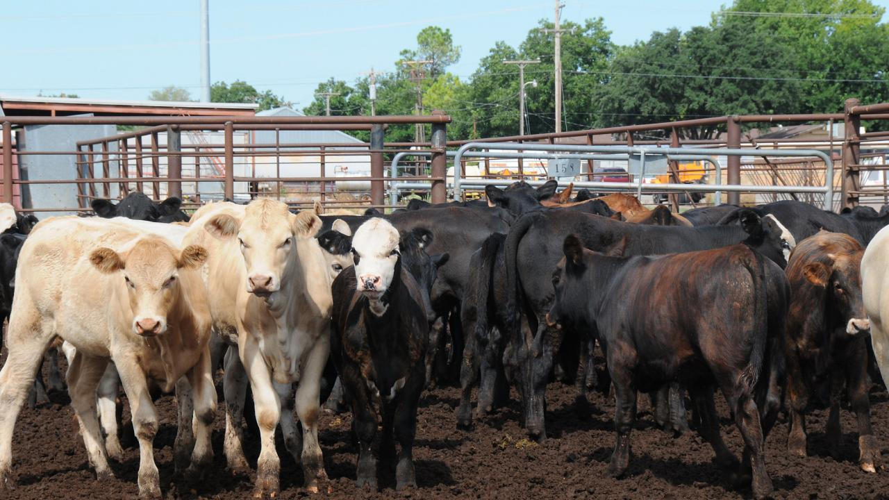 Group of cattle in feedlot.