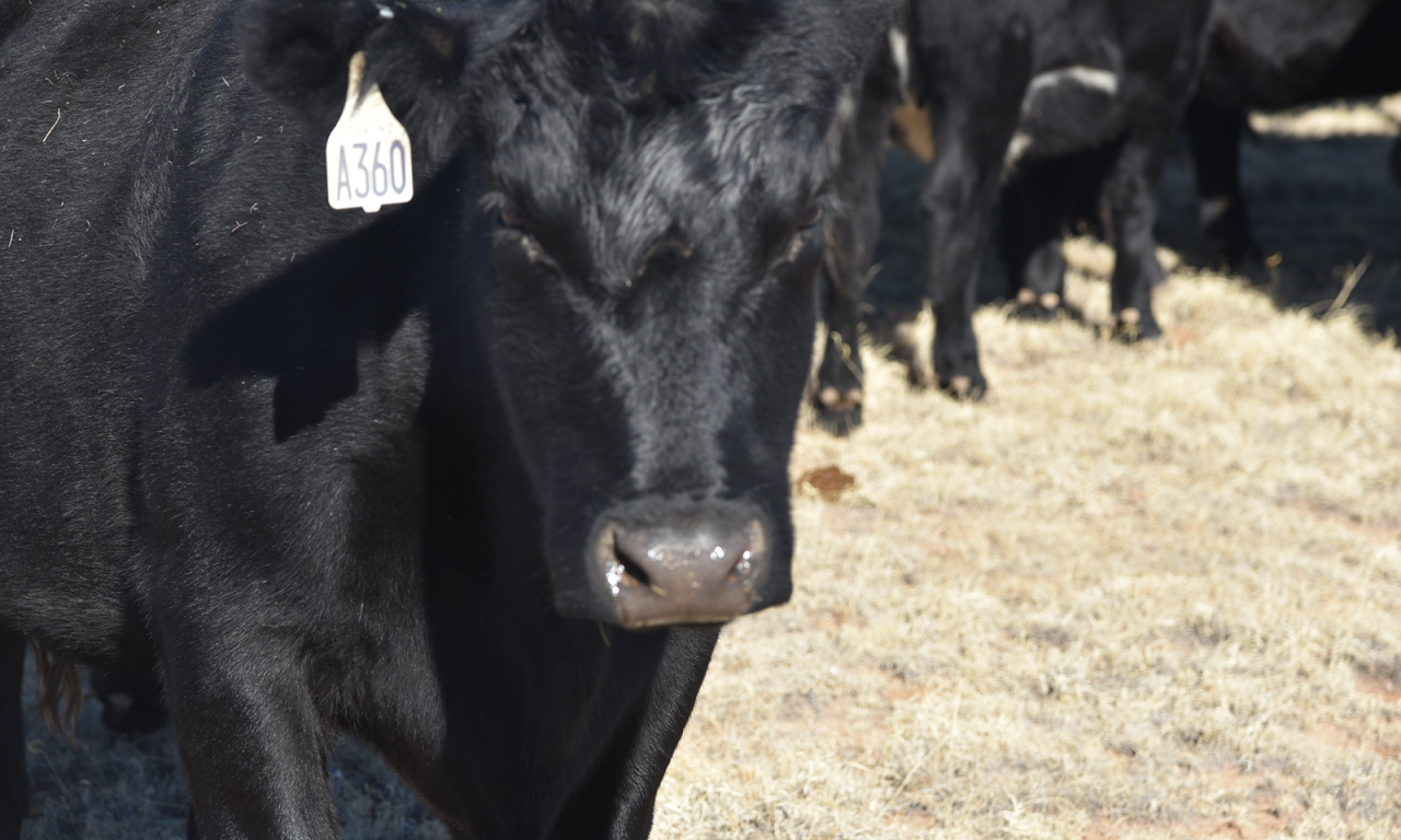 Closeup of black cow.