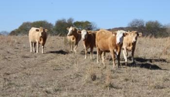Cows during drought.