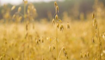 Closeup photo of oats standing in field.