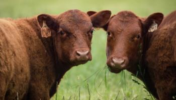 Closeup of two brown cows.
