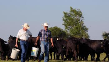 Two men walking with buckets among cattle.