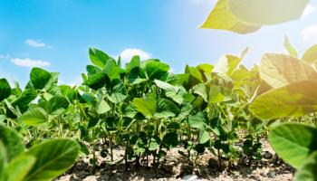 Ground-level photo of soybean field.