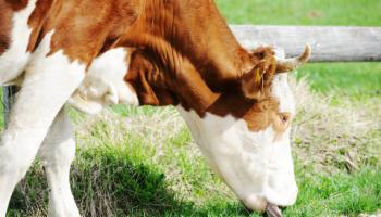 Closeup of cow grazing on pasture.
