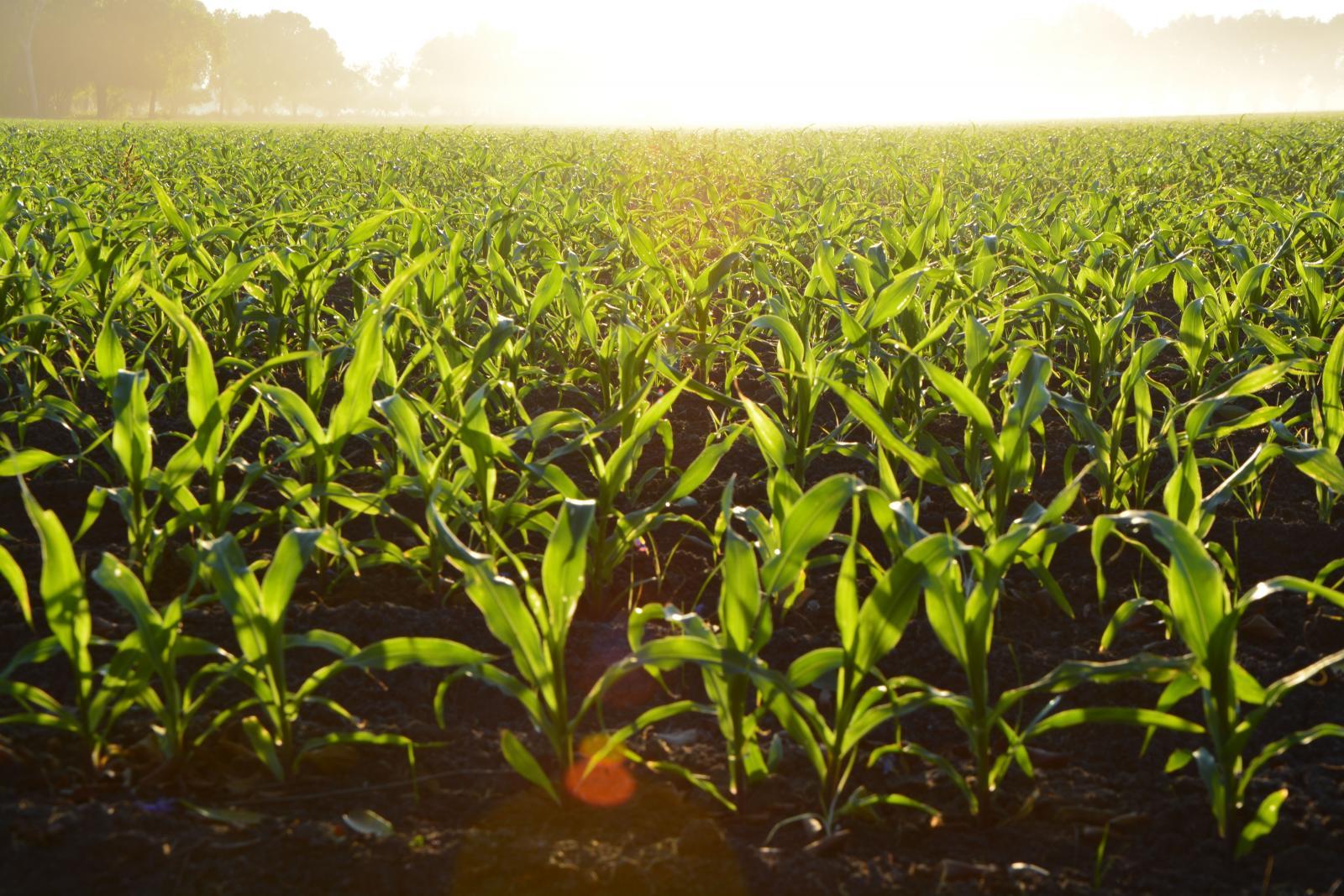 Small corn field.